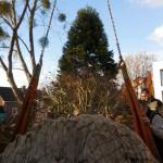 aanplant-mammoetboom-sequoiadendron-giganteum-gewicht-6-ton-heerlen-02