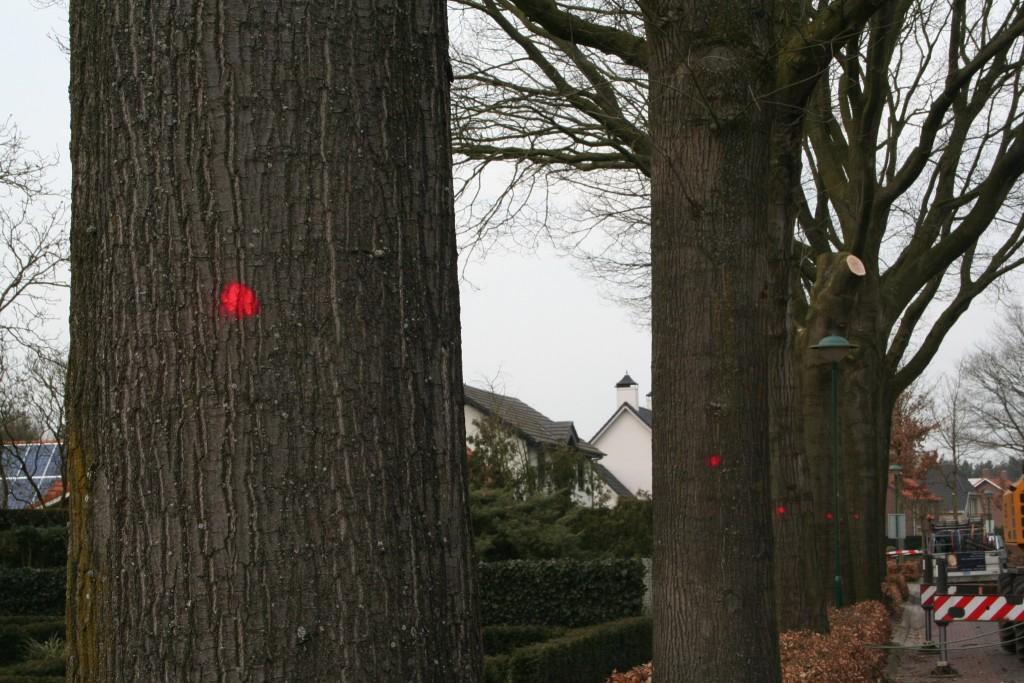 boomverzorging-kap-grote-amerikaanse-eik-centrum-Riethoven-ziekte-1