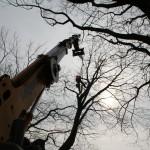 boomverzorging-kap-grote-amerikaanse-eik-centrum-Riethoven-ziekte-2