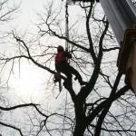 boomverzorging-kap-grote-amerikaanse-eik-centrum-Riethoven-ziekte-3