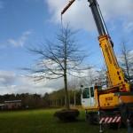 verplanten-moeraseik-tuin-van-hoof-boomverzorging-verplanting-renders-1